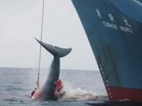 Japón detendrá su programa de pesca de ballenas en la Antártida