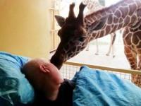 Una jirafa se despide de un empleado del zoo con cáncer terminal