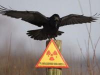 Los pájaros de Chernóbil se están adaptando a la radiación