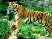 El tigre de Malasia, en grave peligro de extinción