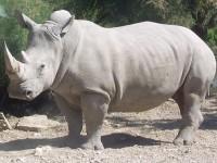 Solo quedan seis ejemplares en el mundo del rinoceronte blanco del norte