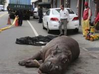 Un hipopótamo siembra el pánico en Taiwán
