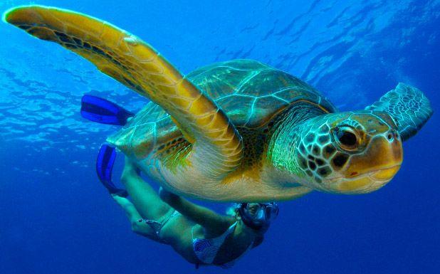 Conservación de la tortuga boba